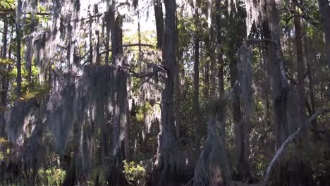 A-POV-shot-traveling-through-a-swamp-in-the-Everglades-showing-Spanish-moss-2