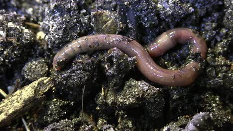 An-earthworm-burrows-into-rich-soil