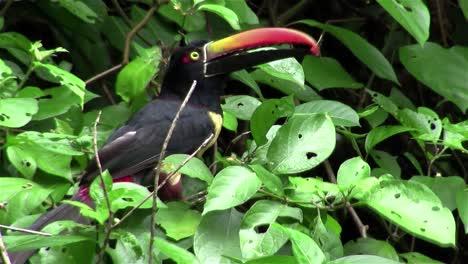 Un-Pájaro-Aracari-Se-Sienta-En-Un-árbol-Comiendo-Bayas