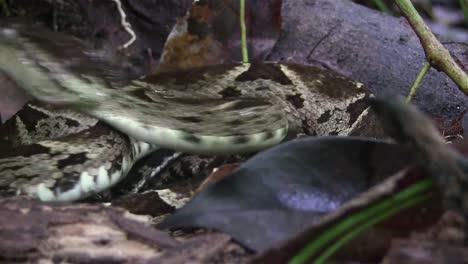 Una-Serpiente-Víbora-Ferde-Lance-Está-A-Punto-De-Atacar