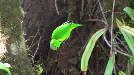 A-chlorophonia-bird-poses-in-a-tree