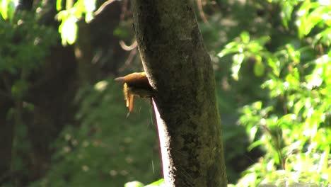 Un-Pájaro-Carpintero-De-Olivo-Dorado-Picotea-Un-árbol