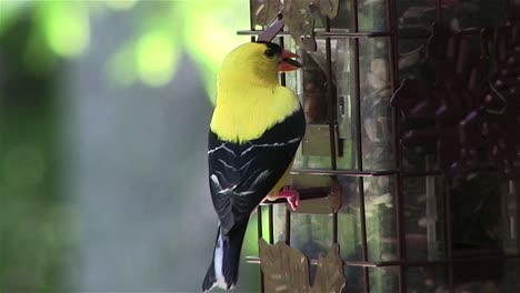 A-goldfinch-at-a-bird-feeder