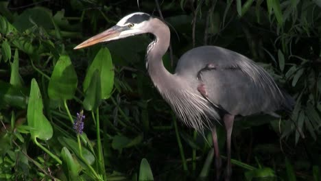 A-great-blue-heron-feeds-in-a-marshland-1