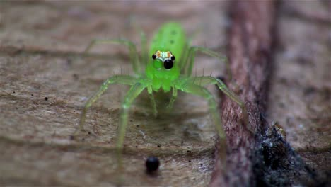 A-green-jumping-spider-up-close