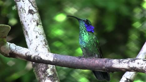 Two-hummingbirds-fight-for-position-on-a-branch