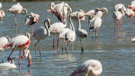 Carmargue-Flamingos-04