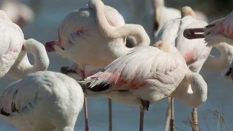 Carmargue-Flamingos-15