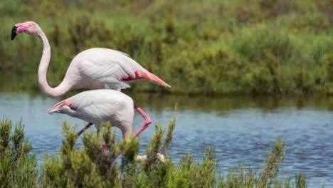 Carmargue-Flamingos-21