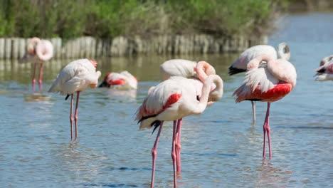 Carmargue-Flamingos-27