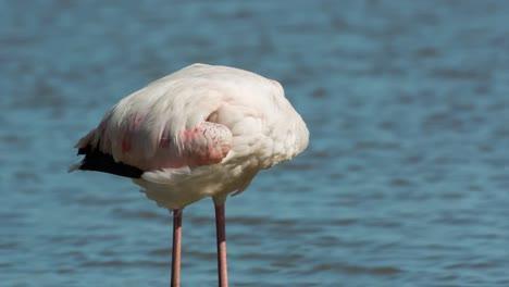 Carmargue-Flamingos-31