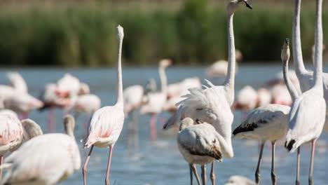 Carmargue-Flamingos-33
