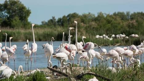 Carmargue-Flamingos-34