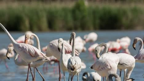 Carmargue-Flamingos-36
