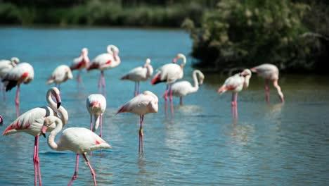 Carmargue-Flamingos-41