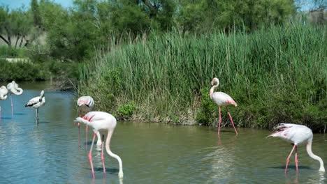 Carmargue-Flamingos-47