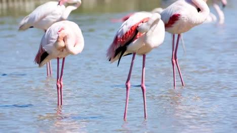 Carmargue-Flamingos-49