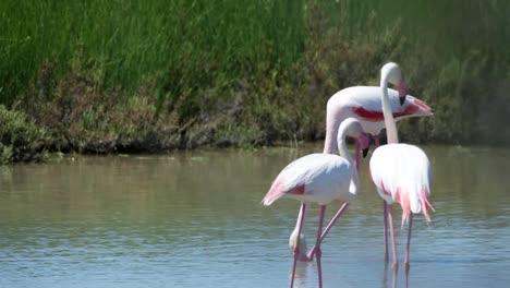 Carmargue-Flamingos-53