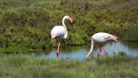 Carmargue-Flamingos-58