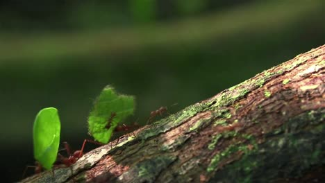 Leafcutter-ants-move-across-a-tree-branch