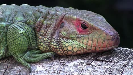 A-colorful-lizard-or-iguana-opens-its-eyes