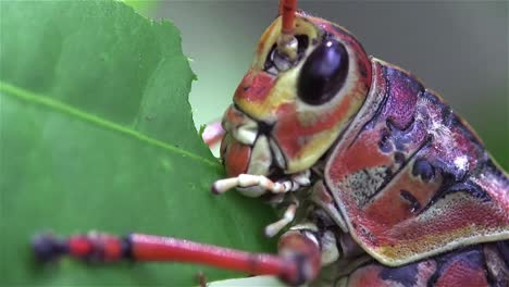Extreme-close-up-of-a-lubber-grasshopper-locust-eating-a-green-leaf