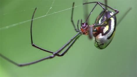 An-orchard-spider-weaves-its-web