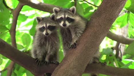 Two-raccoons-adopt-a-cute-pose-in-a-tree