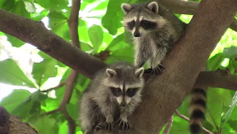 Two-raccoons-adopt-a-cute-pose-in-a-tree-1