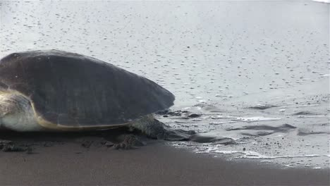 Olive-Ridley-sea-turtle-struggles-through-the-surf-to-lay-eggs
