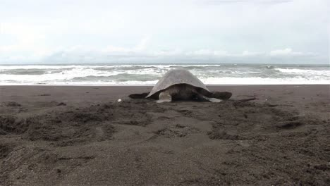 Olive-Ridley-sea-turtle-crawls-back-into-the-sea-after-laying-eggs-in-the-sand