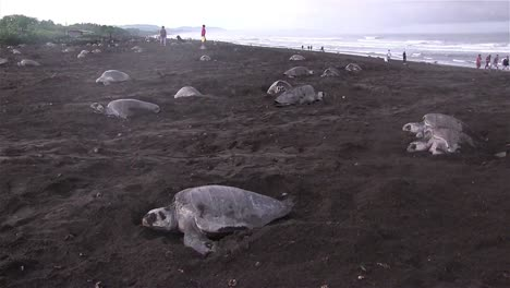 Dozens-of-olive-Ridley-sea-turtles-move-up-a-beach-to-lay-eggs