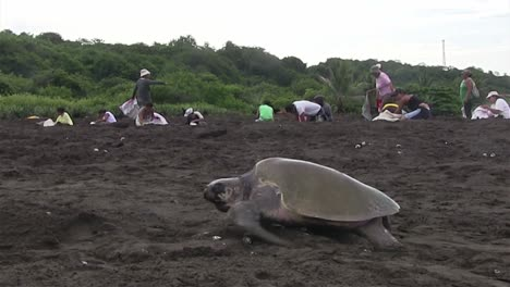 Olive-Ridley-sea-turtles-make-their-way-up-a-beach-with-Mexican-people-in-the-background