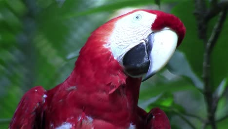 A-scarlet-macaw-parrot-sits-on-his-perch