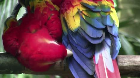 A-scarlet-macaw-parrot-preens-himself