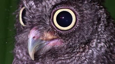 Un-Búho-Chillón-Mira-Con-Ojos-Gigantes