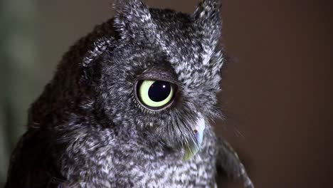A-screech-owl-looks-with-giant-eyes-1