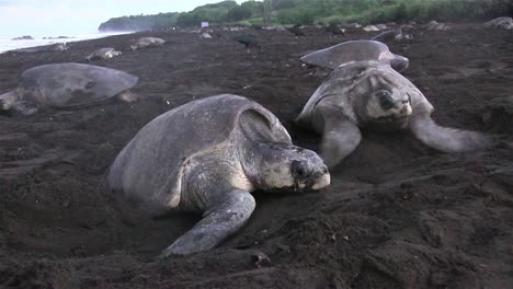 Ridley-sea-turtles-make-their-way-up-a-beach-in-mexico