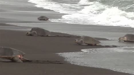 Ridley-sea-turtles-make-their-way-up-a-beach-in-mexico-1