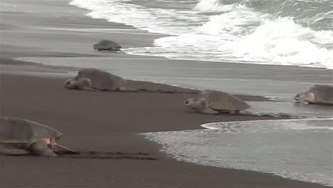 Las-Tortugas-Marinas-Ridley-Suben-A-Una-Playa-En-México-1