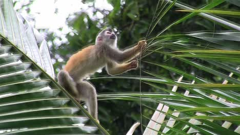 Spider-monkeys-play-in-a-tree-2