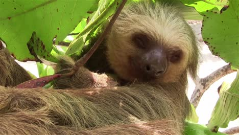A-two-toed-sloth-hangs-in-a-tree