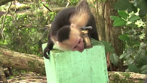 A-capuchin-monkey-drinks-water-from-a-spigot