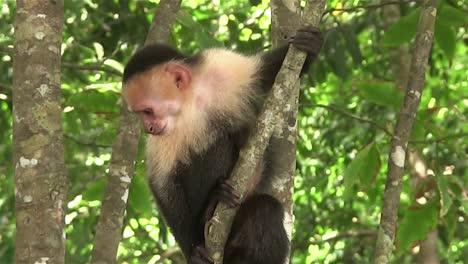Un-Mono-Capuchino-Se-Sienta-En-Un-árbol