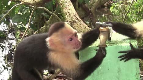Dos-Monos-Capuchinos-Juegan-Alrededor-De-Un-Grifo-De-Agua-