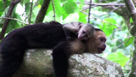 Two-capuchin-monkeys-play-in-a-tree