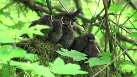Baby-wrens-wait-in-their-nest-for-their-mother-to-return-in-the-forest