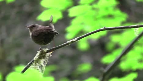 A-wren-sits-on-a-tree-branch