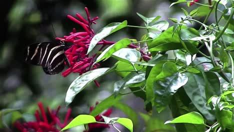 Una-Mariposa-Cebra-Se-Cierne-Cerca-De-Las-Ramas