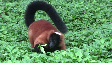 A-beautiful-red-fronted-lemur-plays-in-green-foliage